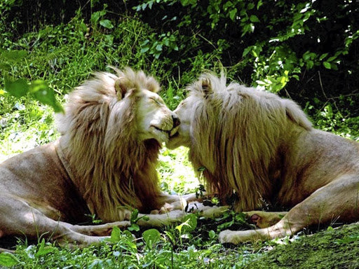 Homosexual african lions