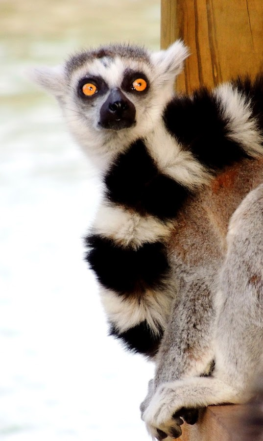Ring Tailed Lemur by Cathy Hood - Animals Other Mammals
