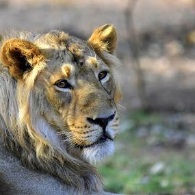by Dr .Ghanshyam Patel - Animals Lions, Tigers & Big Cats (  )