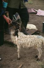 Photo: 03269 ハドブルグ家/羊の授乳
