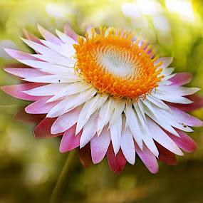 Pink&white by Kallol Bhattacharjee - Nature Up Close Flowers - 2011-2013 ( nature, green, pink, stamen, bokeh, flower,  )