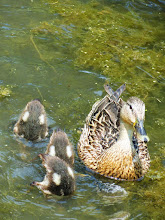 Photo: Momma duck with the ducklings' 'bottoms up!' at Cox Arboretum in Dayton, Ohio.