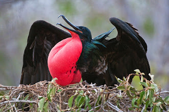 Photo: Frigatebird; North Seymour