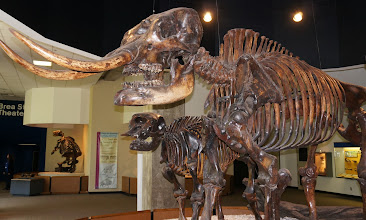 Photo: The American mastodon resembled a woolly mammoth in appearance, with a thick coat of shaggy hair. A few skeletons have been found with the fur still attached; examination of the hair suggests that mastodons lacked the undercoat characteristic of mammoths. It was about 10 ft in height at the shoulder and reached a weight of about 6 tons.