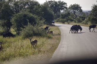 Photo: Wildebeest and impala