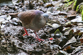 Photo: White-throated Quail-Dove