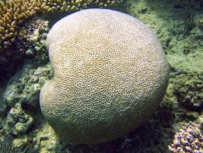 Photo: Brain Coral, Naigani Island, Fiji