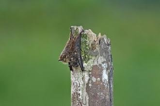 Photo: Long-nosed Bat