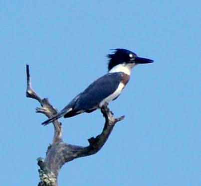 Photo: Kingfisher