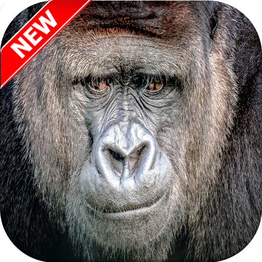 Gorilla Wallpaper Hd Apps On Google Play Free Android