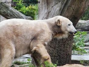 Photo: Knut hat ein Stoeckchen entdeckt ;-)