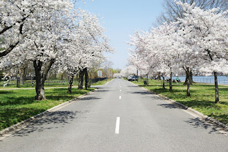 Photo: A street lined with white-blossomed cherry trees