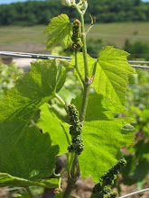 Photo: Young grape clusters.