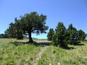 Photo: The lone pine..., surrounded by its progeny
