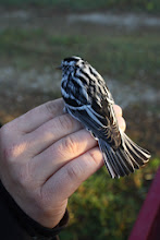 Photo: black and white warbler Photo by Aaron Pierce