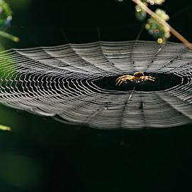 by Katka Kozáková - Nature Up Close Webs ( web, spider,  )