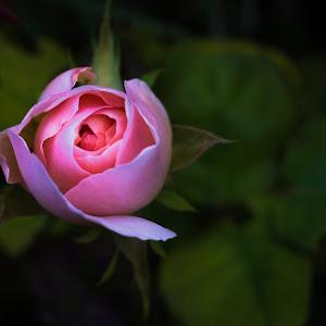 rose (1 of 1)-3.jpg