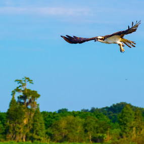 Morning Cruise by James Newberry - Animals Birds ( bird, bird of prey, sky, nature, outdoor, morning, natural, osprey )