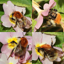 Photo: Carder Bee 7 March 2013