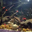 Red prawns