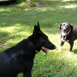 by Barbara Boyte - Animals - Dogs Playing (  )