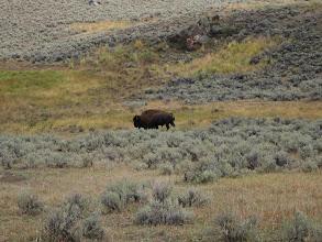 Photo: Bison near Lamar Valley