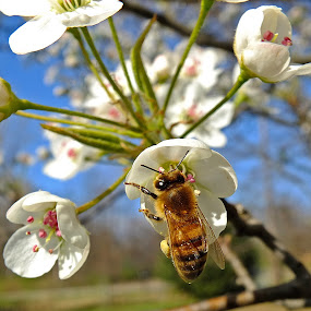 Bee On Pear Blossoms by Bill Diller - Animals Insects & Spiders ( honey bee, pear, bee, michigan, nature, bug, tree, insect, blossoms, flower, pear blossom, wildlife )