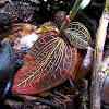 Marbled Jewel Orchid