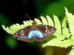 Photo: LERINA BLUE-SKIPPER--pythonides lerina--EL CAPRICHO TRACK