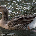 Greylag Goose; Anser Común