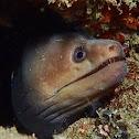 Palefin Moray Eel