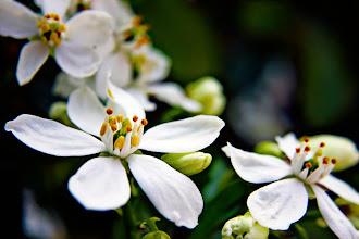 Photo: Choisya - prints & cards here - http://www.inspiraimage.com/index.php/gallery/flowers/224-choisya