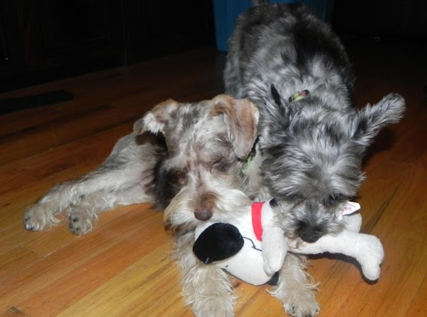 Paczki's favorite thing to do; playing with his Sissy (Tibby).