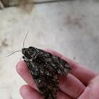 Waxed Sphinx Moth