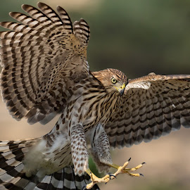 Stealth Hunter-Cooper's Hawk  by Susan and Arwinder Nagi - Animals Other