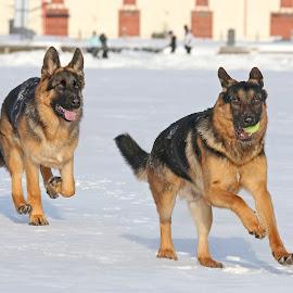 Follow me! by Mia Ikonen - Animals - Dogs Playing ( running, mia ikonen, german shepherd, action, canine, fun, pet, finland )