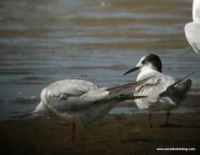Photo: Forester's Terns, Bolivar Flats Shorebird Sanctuary, upper Texas Coast