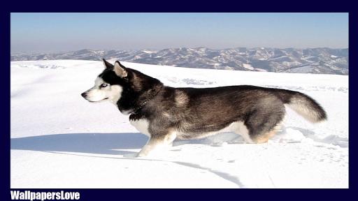 玩免費個人化APP|下載Siberian Husky Pack 2 LWP app不用錢|硬是要APP