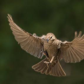 Spread Open by Roy Walter - Animals Birds ( bird, wings, wildlife, feathers, garden )