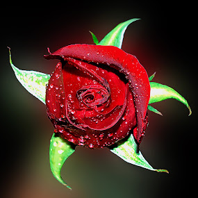 red rose by Hafiz Ursa - Nature Up Close Gardens & Produce ( black background, rose, red rose, solid background, spiral rose )