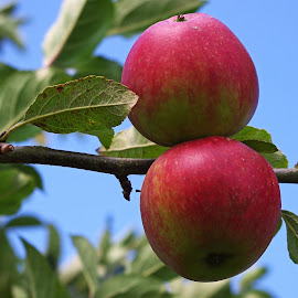 Fresh Apples by Ingrid Anderson-Riley - Nature Up Close Gardens & Produce