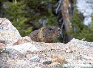Photo: Marmot near Yellowstone National Park