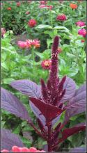 Photo: Turda, Str. Rapsodiei, Nr.3, spatiu verde - Stir rosu (Amaranthus cruentus) - 2018.07.08