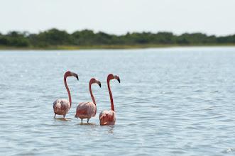 Photo: Greater Flamingo (Rosaflamingo); Rio Lagartos, YUC