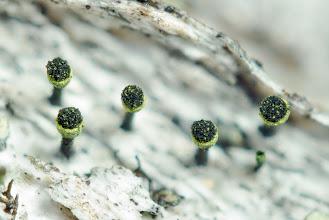 Photo: aff. Calicium sp. Northern Europe, Saxnäs, Graipes-leden, (65.125539 / 15.081477), vegetation type: mixed forest, associated organism: birk (Betula), substrate: wood, leg.: Thomas Læssøe & Jens H. Petersen, det.: Thomas Læssøe & Jens H. Petersen, coll. number: JHP-10.058.