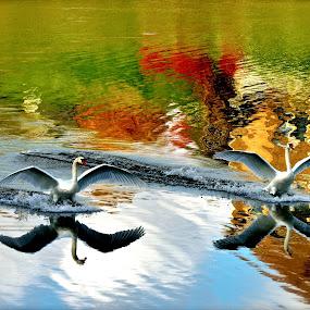 Swans Fall by Clark Crosser - Animals Birds ( bird, fly, flight,  )