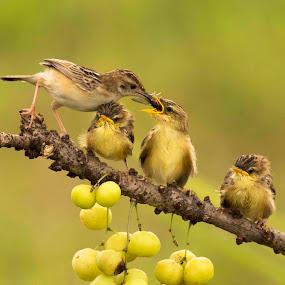 by Setiawan Halim - Animals Birds (  )