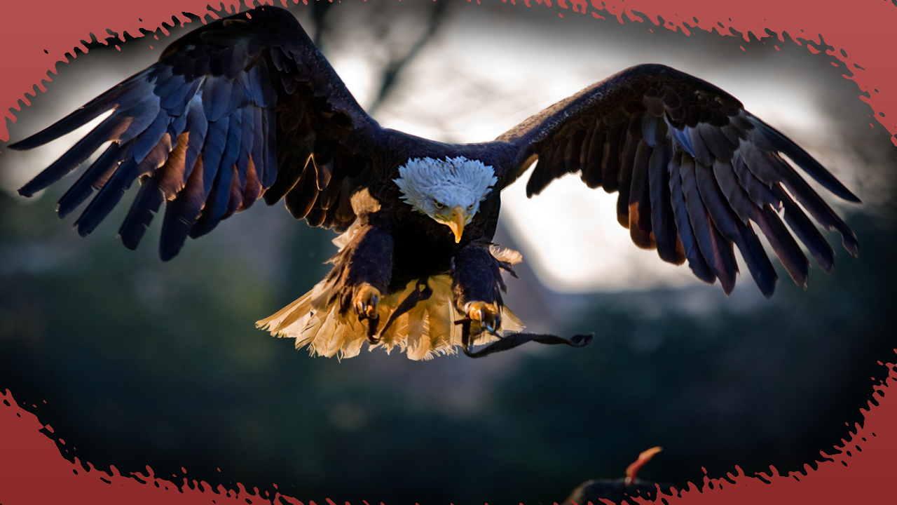 Eagle Wallpaper Android Apps on Google Play