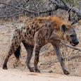 Hyena Videos