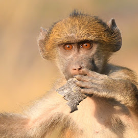 Chacma Baboon by Steven Liffmann - Animals Other Mammals (  )